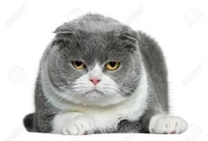 cat cat beautiful scottish fold cat