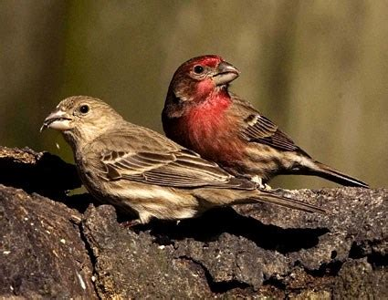 house finch, identification, all about birds cornell lab