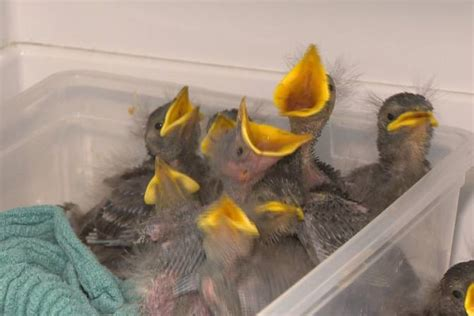 hope for wildlife caring for influx of orphaned babies