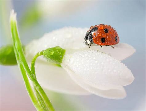 how to find ladybugs in your backyard beautiful macro photos of ladybugs glistening with water design swan