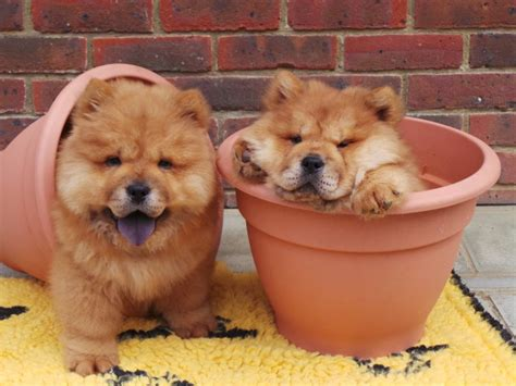 New Chow S Kitchen chow chow dogs need new home from dogs trust after being