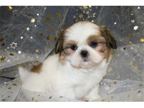 shih poo puppies for sale in illinois shih poo puppies for sale in central illinois
