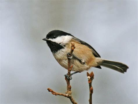 field friendly bird sequence chickadee and wren like