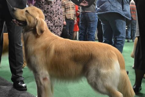 westminster golden retriever 2016 golden retriever show westminster show 2012 best of golden retrievers