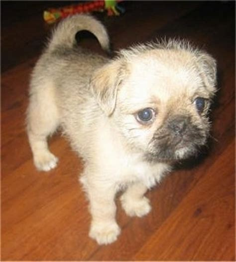 shih tzu pug mix puppies pug zu breed pictures 1