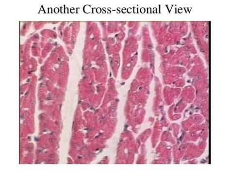 cardiac muscle cross section 3 cardiac muscle tissue
