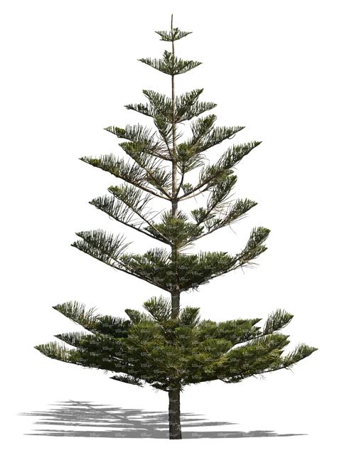 The Pine Tree cut out norfolk island pine tree cut out trees and
