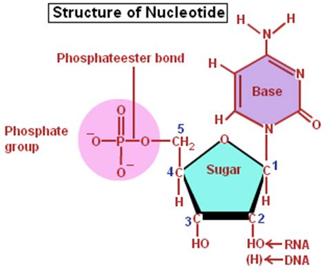nucleic acid diagram nucleic acids a nucleotide a monomer of a nucleic acid