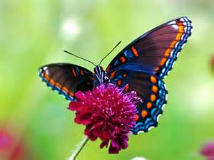 pictures of colorful butterflies butterfly desktop wallpapers allfreshwallpaper