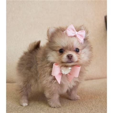 teacup teddy pomeranian puppies for sale pomeranian puppies for sale in houston teddy poms picture breeds picture