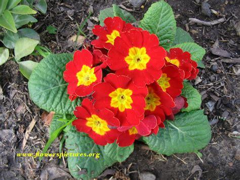 primrose flower pictures