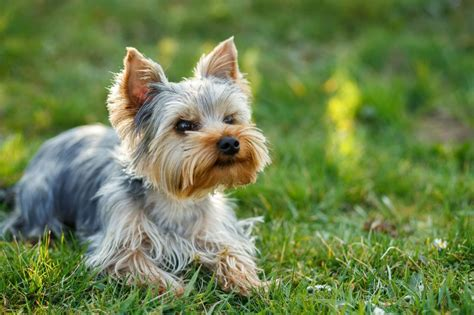 yorkie puppy pictures free animals terrier stock photos and pictures