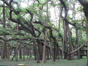 banyan trees on trees and roots