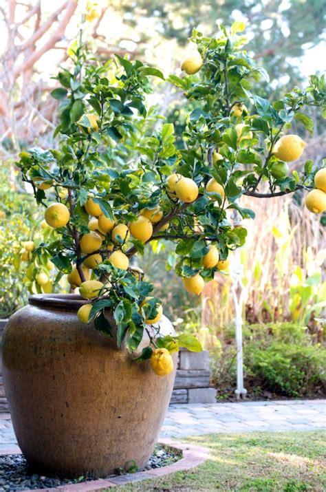 dwarf lisbon lemon tree   plants garden supplies