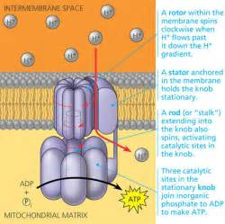 The Movement Of Protons Through Atp Synthase Occurs From The Electron Transport Chain And Chemiosmosis The Atp