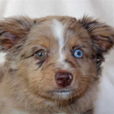 australian shepherd puppy for sale mini australian shepherd puppy for sale in boca raton south florida