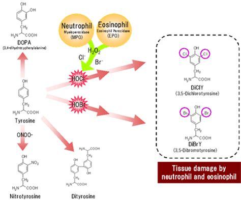 protein oxidation anti dibromotyrosine monoclonal antibody jaica s
