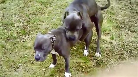 dogs mating mating gif www pixshark images galleries with a bite