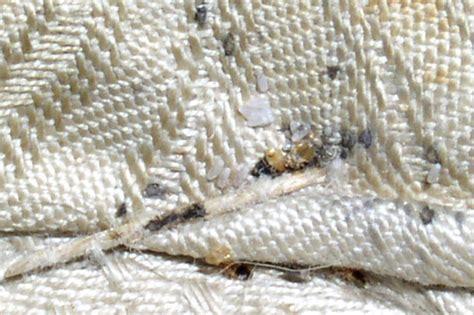 insetti materasso scheda cimice dei letti cimex lectularius pestforum