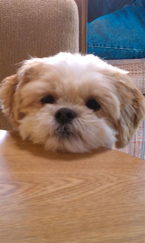 mahogany shih tzu hairstyles 10 images about shih poo on pinterest toy poodles shih