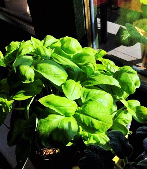 come curare il basilico in vaso come curare pianta di basilico affordable come curare