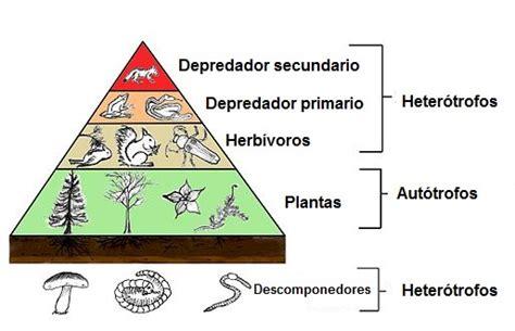 cadena alimentaria y red trofica diferencia 191 qu 233 es una red tr 243 fica y una cadena alimenticia lifeder