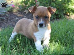 pitbull chihuahua mix puppies for sale 1000 images about jackhua on chihuahua mix terriers and