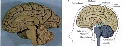 medial section of brain brain figures