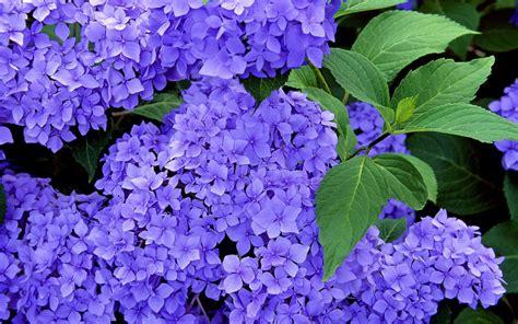 wallpaper blue hydrangea blue hydrangeas wallpaper flower wallpapers free