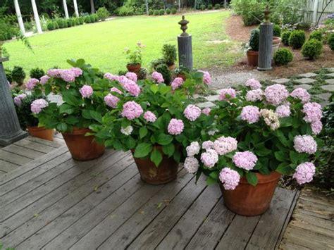 best flowers for small pots growing hydrangeas in pots container garden ideas hgtv