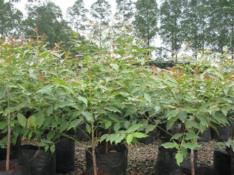 Bibit Eucalyptus Deglupta eucalyptus deglupta literatur eucalyptus deglupta