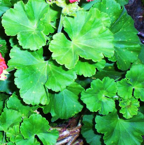 eye candy for the famished red geranium buds and leaves