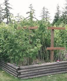 how to grow raspberries fine gardening