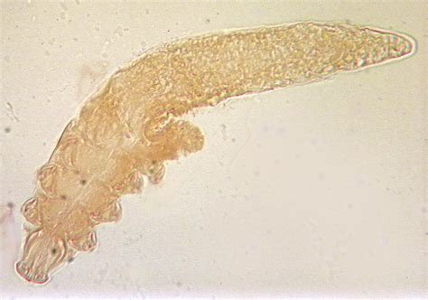 folliculitis in dogs species of demodex mites been identified in dogs demodex