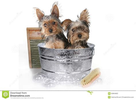 bathing yorkies teacup terriers on white bathing stock photo image 50964802