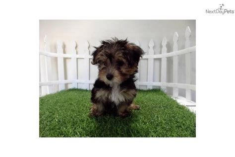 yorkie poo dogs 101 pin yorkie poo dogs 101 picture cake on