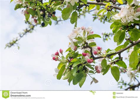 budding and blossoming branches of a crabapple tree stock