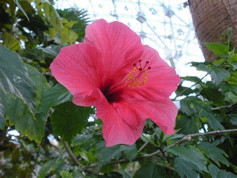 Identify Garden Flowers Flower Identification Hibiscus Helpfulgardener