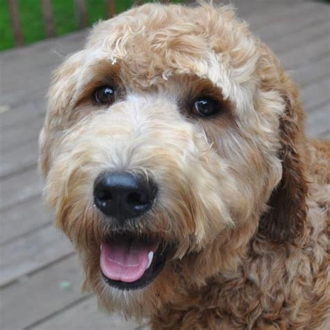 goldendoodle puppies for sale in ottawa 17 best images about doodle is quot golden quot on
