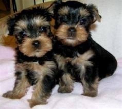 blumoon yorkies yorkie puppies for sale in kentucky breeds picture
