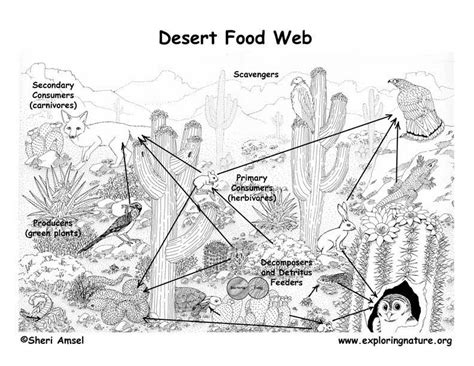 coloring page food chain sonora desert food chain coloring page google search