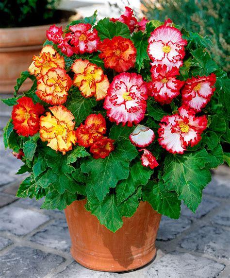 pianta fiorita tutto l anno come avere un balcone fiorito tutto l anno green mag