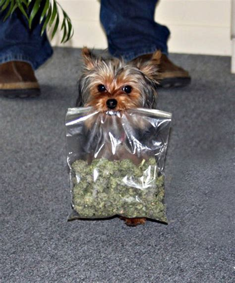 marijuana and dogs marijuana for dogs