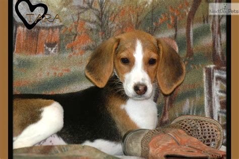 american foxhound puppies for sale american foxhound puppy for sale near kansas city missouri 56013d27 6471