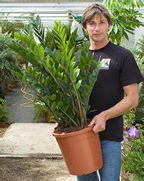 zamioculcas zamifolia zz plant | house of plants