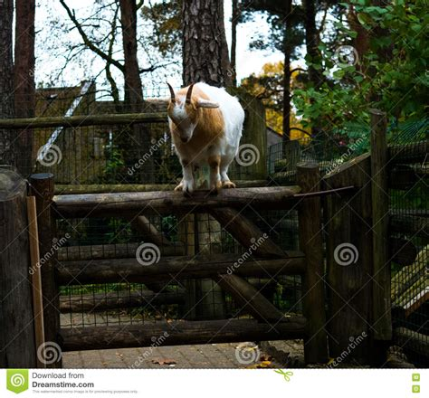 new year for goat 2016 goat jumping to new year 2016 vector illustration