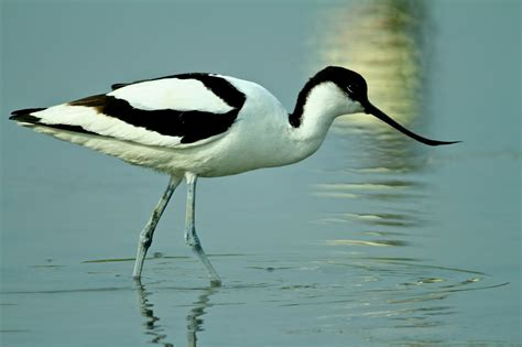 Small Home Plans Free pied avocet