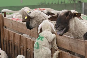 Joyko Tip Ex Big Animal lambs marked for slaughter