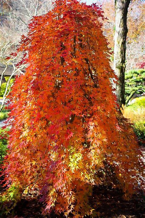 ryusen japanese maple  sale   tree center