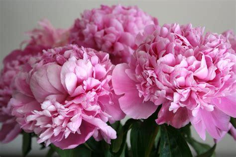 pink peonies peonies yuehua watercolors 跃华国画